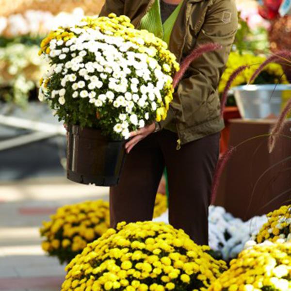 Angebot Chrysantheme