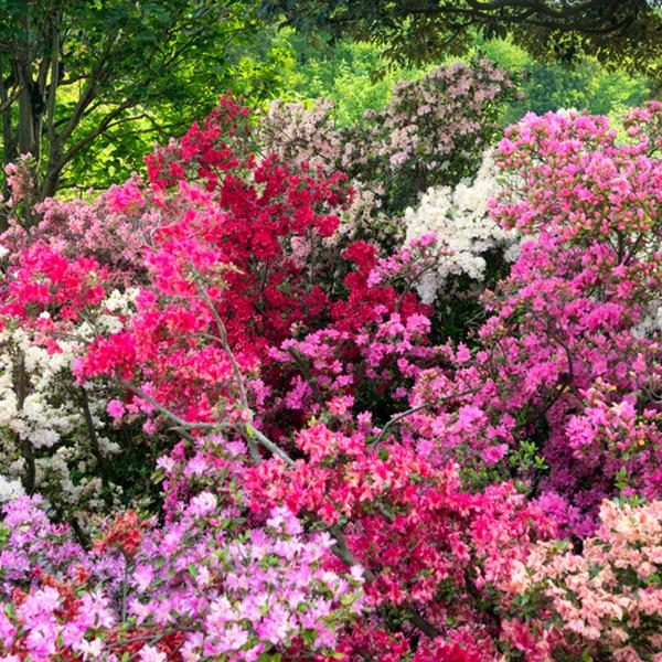 Bunte Azaleen im Garten im Frhling