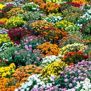 Chrysantheme winterhart