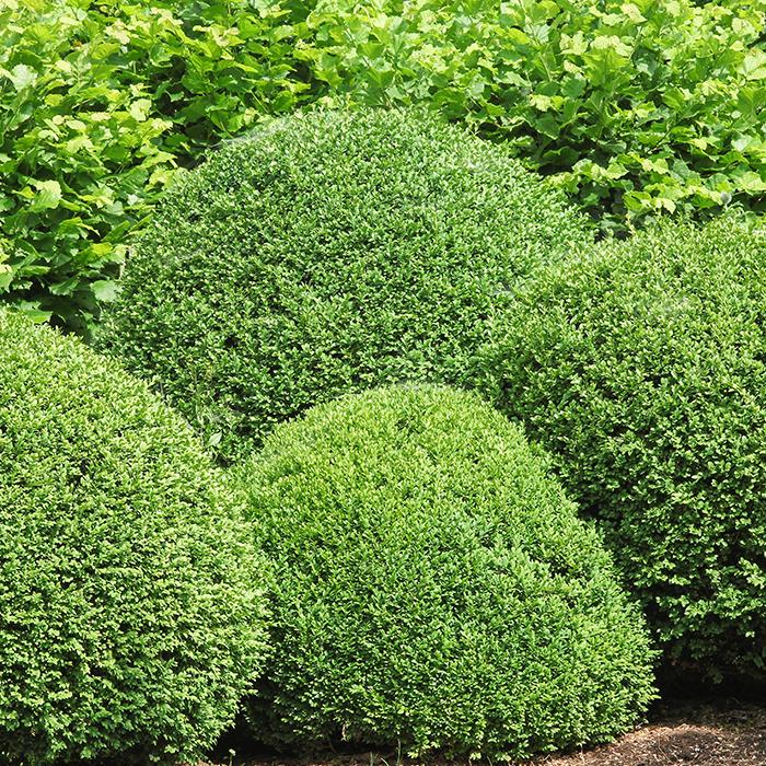 TURKENBURG_Heckenpflanzen