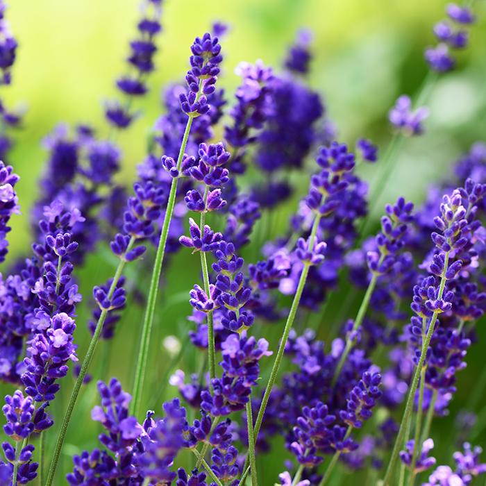 TURKENBURG_Lavendel