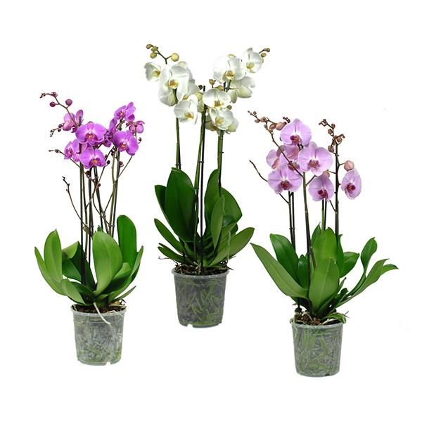 Quadrat Orchideen