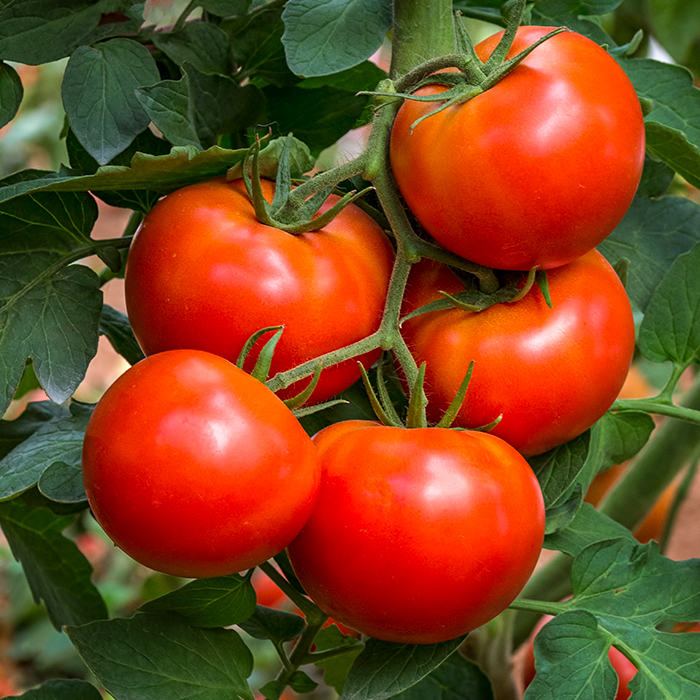 TURKENBURG_Tomaten